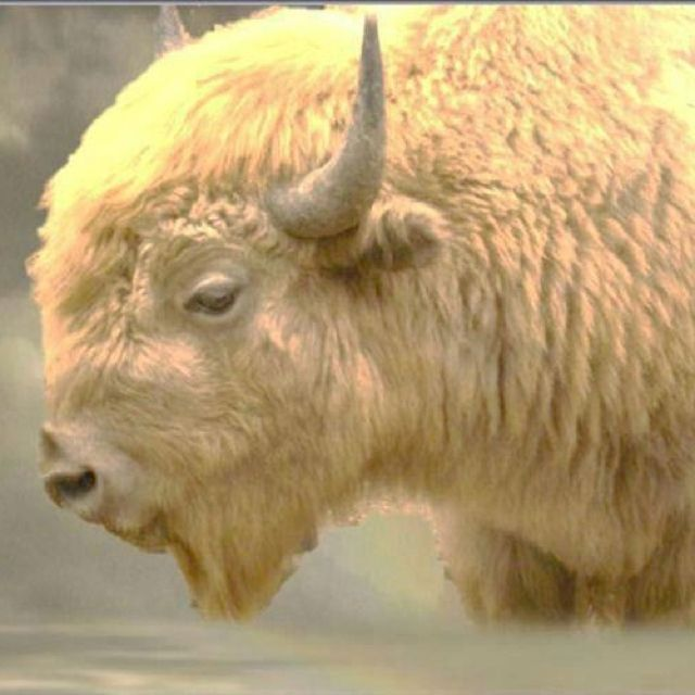 White Buffalo - there are THREE of them in Bismarck, ND!  White Cloud is the mother of the other two.