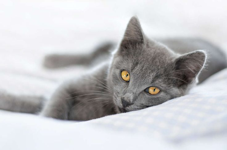 Image result for chartreux kittens