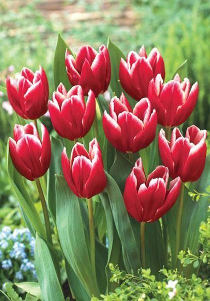 Vampire mid season tulip tulips bloms bulbs uk for What season are tulips