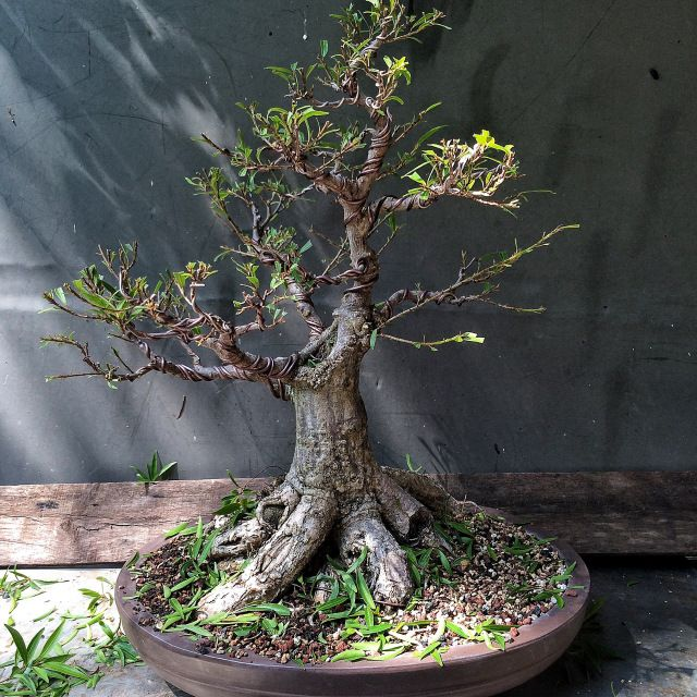 Cracked pots, wire scars, ficus in focus and some philosophy | Adam's Art and Bonsai Blog