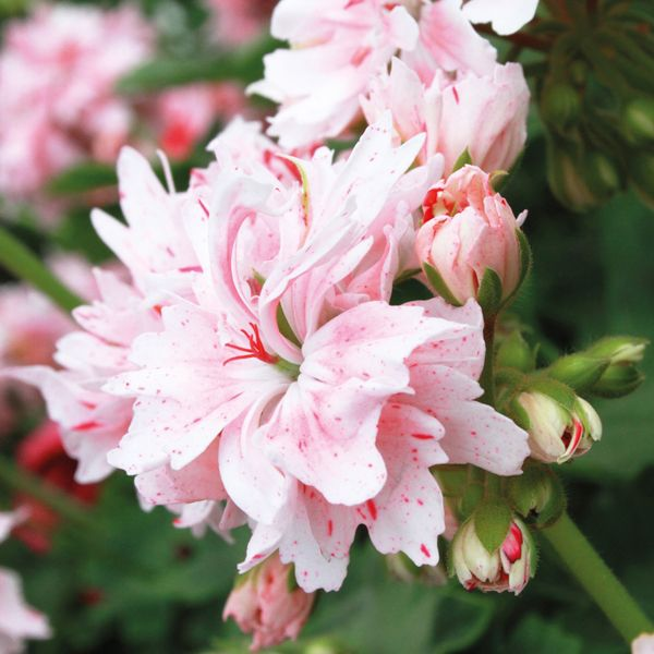 Martha Washington Geraniums Care: Stellar Geranium Rookley Plant