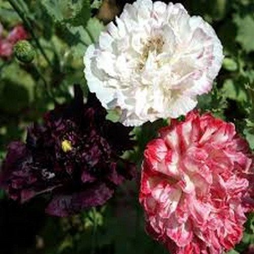 100 Peony Antique Shades Poppy Flower Seeds  by UnderTheSunSeeds