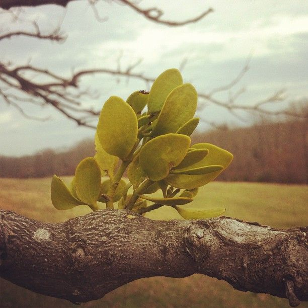 Mistletoe grows on trees in Tennessee.