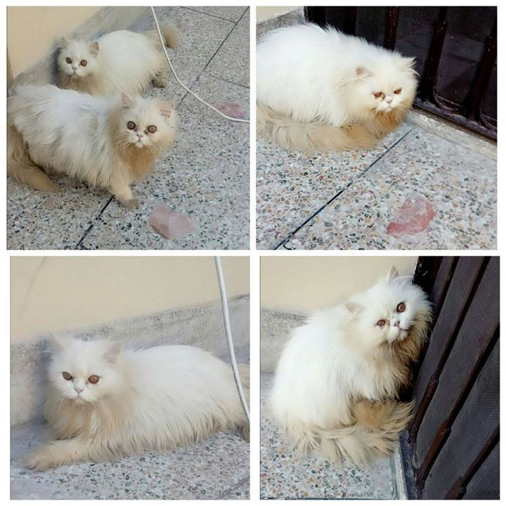 Pure Persian Punch Face For Sale Contact 03029295234 Pure Peki Bloodline Male And Female Both Available Pure White Color Fur Ball Cat Tshirt Cats Cat Shirts