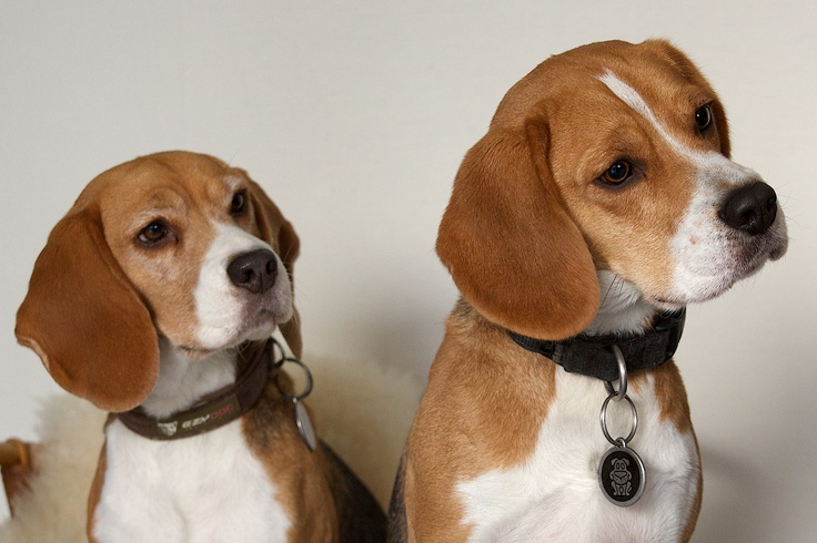 Our Beagles Pip and Mac
