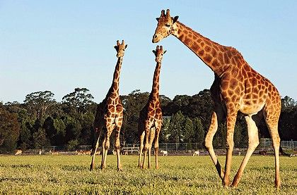 7 Places To Enjoy On Your Holiday In Dubbo. THe Western Plains Zoo in Dubbo will offer lasting memories on your Dubbo holiday. http://www.ozehols.com.au/blog/new-south-wales/7-places-to-enjoy-on-your-holiday-in-dubbo/ #Dubbo #DubboZoo #VisitDubbo #DubboNSW