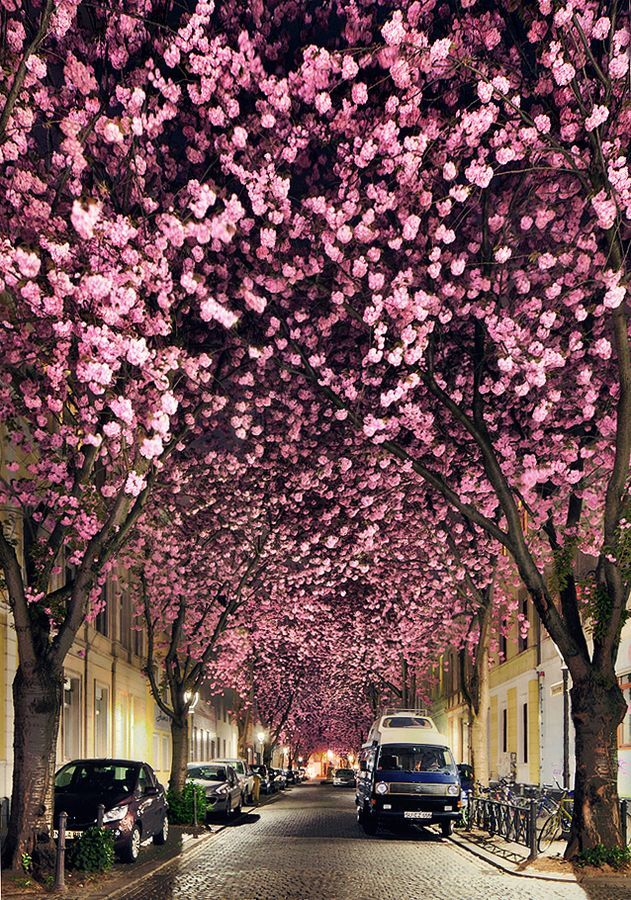 Cherry Blossom Avenue in Bonn, Germany: Cherries Blossoms, Bonn Germany, Street Looks, Natural Beautiful, Colors, Landscape Photography, Blossoms Trees, Flower, Cherry Blossoms