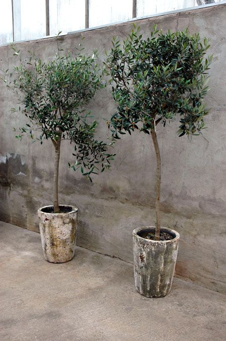 Potted trees. Lovely patina on the pots. /////http://www.facebook.com/slottstradgardenulriksdal
