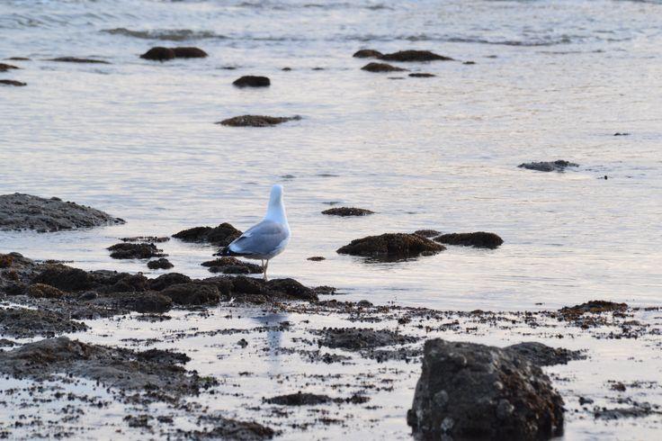 mouette saint marc sur mer