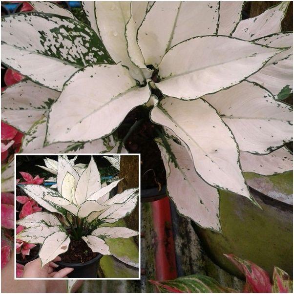 1 Aglaonema Plants White leaves, Chinese evergreens, King Of Foliage plants