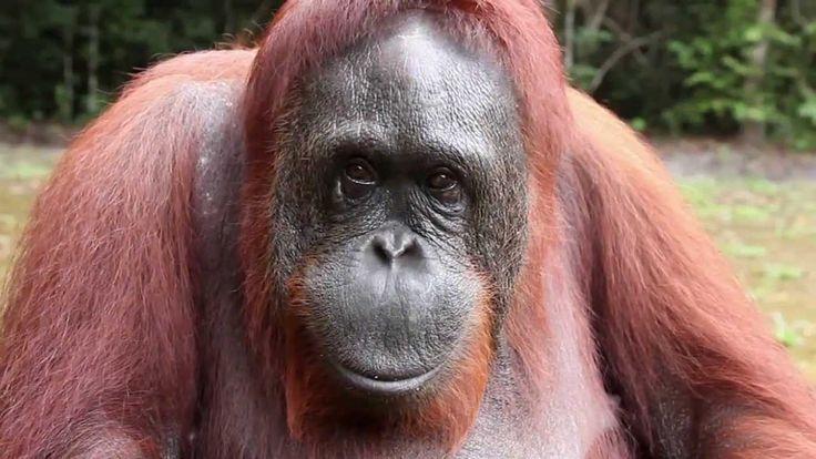 Orangutan Asks Girl for Help in Sign Language