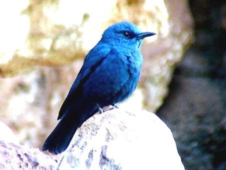 Photo by tuck-khoon © all rights reserved Blue Rock Thrush, Blue Rock Trush, Blue Rock-Thrush, Göy qaya qaratoyuğu, Merla blava, Pàssera, Roquero Solitario, Γαλαζοκότσυφας, Merle bleu, Merle de roche bleu, Merle-bleu, Monticole bleu, Monticole merle-bleu, צוקית בודדת,  Muraibatu Arung,  Passero solitario,  Кєк сайрақ, Melro-azul, นกกระเบื้องผา, السمنة الزرقاء, السمنة الغرابية, سمنة الصخور الزرقاء,  蓝矶鸫, 藍磯鶇, Gökardıç, gökardyç, Mavi Kaya-ardıcı, Синій скеляр, Скеляр синій,