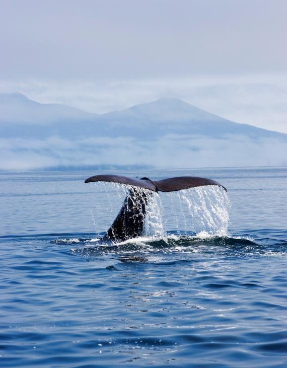 水しぶきをあげて泳ぐクジラやイルカを間近で見ることができるクルーズは絶対行きたい。知床の見所まとめ
