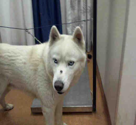 Siberian Husky dog for Adoption in Sacramento, CA. ADN-489866 on PuppyFinder.com Gender: Male. Age: Adult