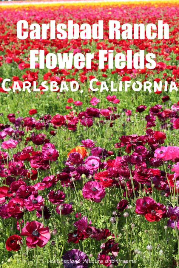 A colourful blaze of spring flowers at carlsbad ranch flower fields the flower fields at carslbad ranch in southern california burst with colourful ranunculus blooms in springtime california sandiego springflowers mightylinksfo