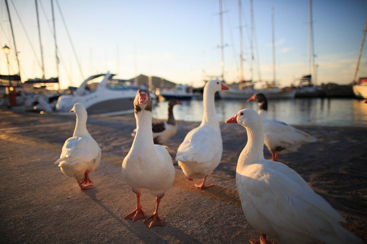 Goose at the port of Naoussa by Pang Yao