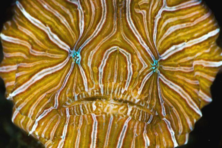 Histiophryne psichedelica, un'incredibile Rana pescatrice tropicale dai colori davvero lisergici..