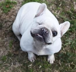 Dixie is an adoptable French Bulldog Dog in League City, TX. You can fill out an adoption application online on our official website. Adoption fee $500 Dixie was picked up from a breeding operation. S...