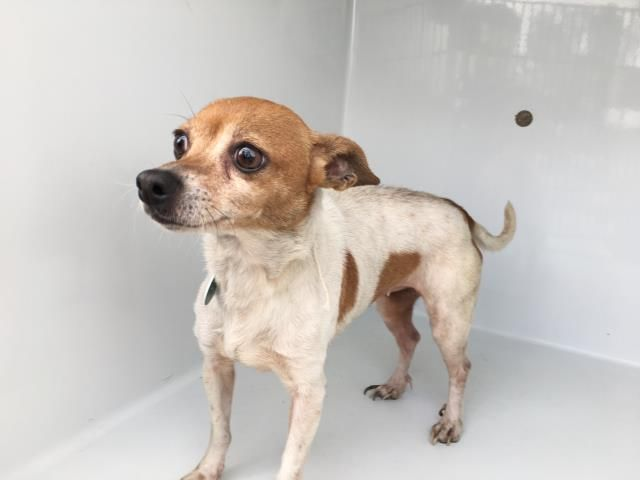 Urgent Harris County Tx Putonga Id A502762 My Name Is Putonga I Am A Female White And Tan Toy Th Dogs Small Dog Breeds Puppies