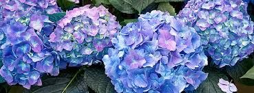 Image result for •	Hydrangeas