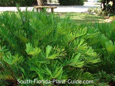 """Zamia pumila - Sometimes called """"Coontie Palm,"""" this is not actually a palm but a palm-like cycad plant.  It's one tough cookie - perfect for dry areas, cold tolerant, not choosy as to light - yet it provides an appealing fine-textured look."""