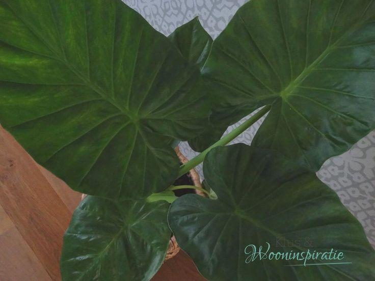 Groen in je interieur, brengt je interieur wat meer tot leven. Tegenwoordig mag je weer grotere groene planten aan je interieur toe te voegen.