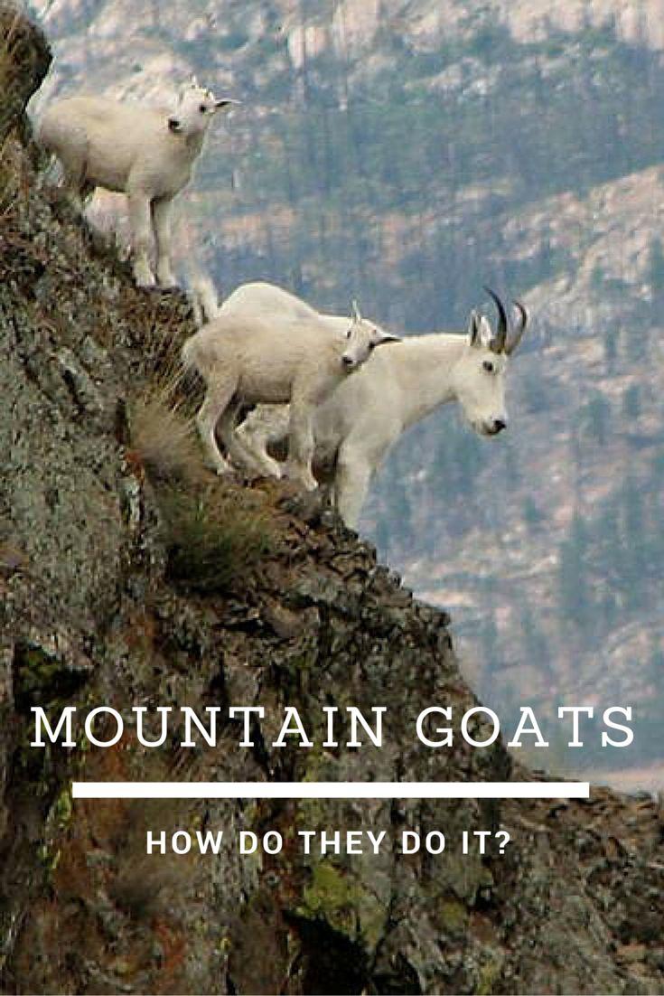Best 25+ Mountain goats ideas on Pinterest   King photo ...  Best 25+ Mounta...