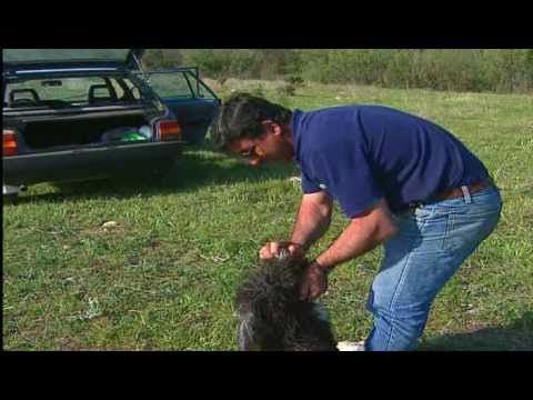 El Perro de Agua Español - Parte 1/2 -Jara y Sedal - Perros de Caza - YouTube