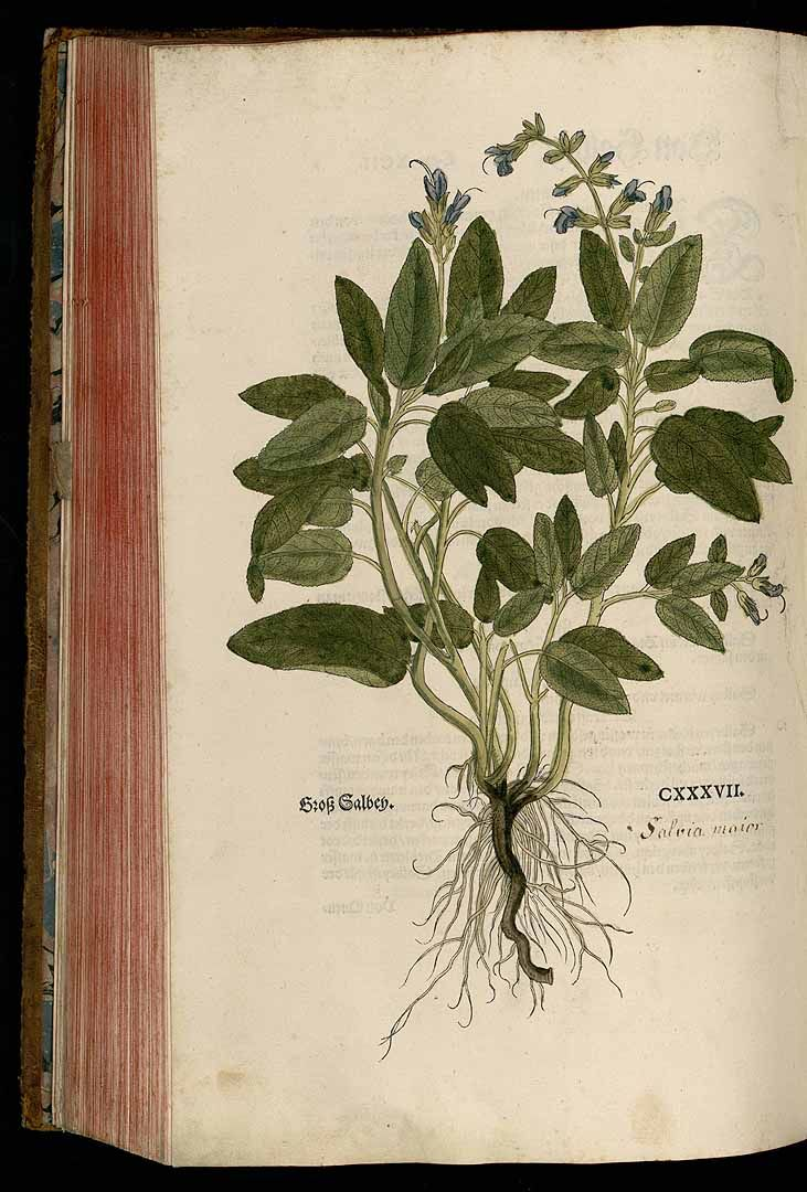 La sauge officinale (Salvia officinalis) | [Books of] Dante