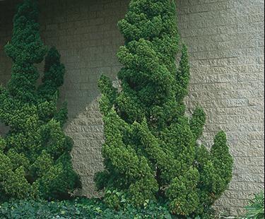 Upright Juniper (juniper chinesnsis) 15-20 ft