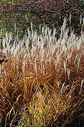 Flame Grass (Miscanthus sinensis 'Purpurascens') at The Growing Place. Center of Lake Shore Drive south. Gorgeous in autumn.