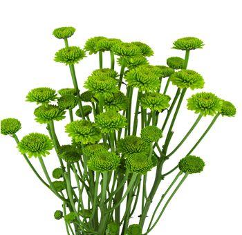 Google Image Result for http://www.wholeblossoms.com/images/Button-Poms-Yoko-Onos-Green-Flowers.jpg