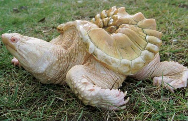Пинки – редкая каймановая черепаха альбинос, страдавшая в молодости от недоедания, отчего теперь развилась странная форма панциря – обитает в зоопарке Клинч в Траверс Сити, штат Мичиган