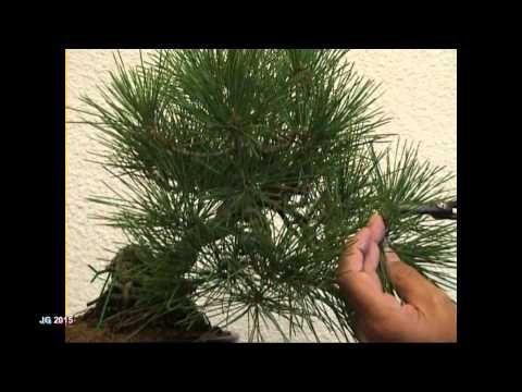 Pinus thunbergii Pino negro japonés 1ª parte Corte de agujas y brotes Técnicas de cultivo JG 20 - YouTube