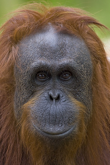 Janey the orangutan by Official San Diego Zoo, via Flickr