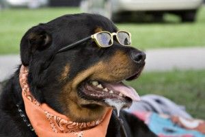 Funny Rottweiler Dogs Photos/Images 2012