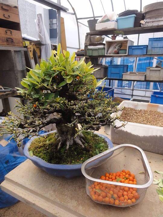 1958 besten bonsai bilder auf pinterest bonsai for Bonsai hydrokultur
