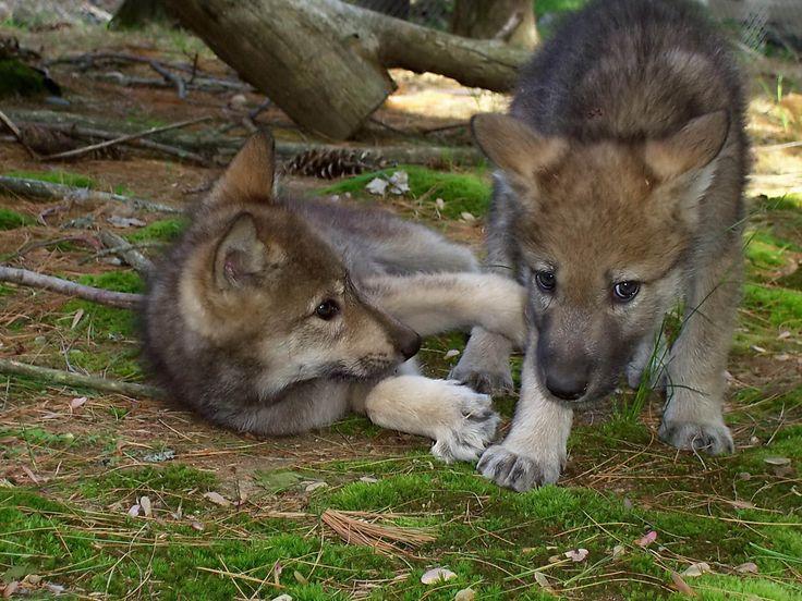 Фото матерый волк 5