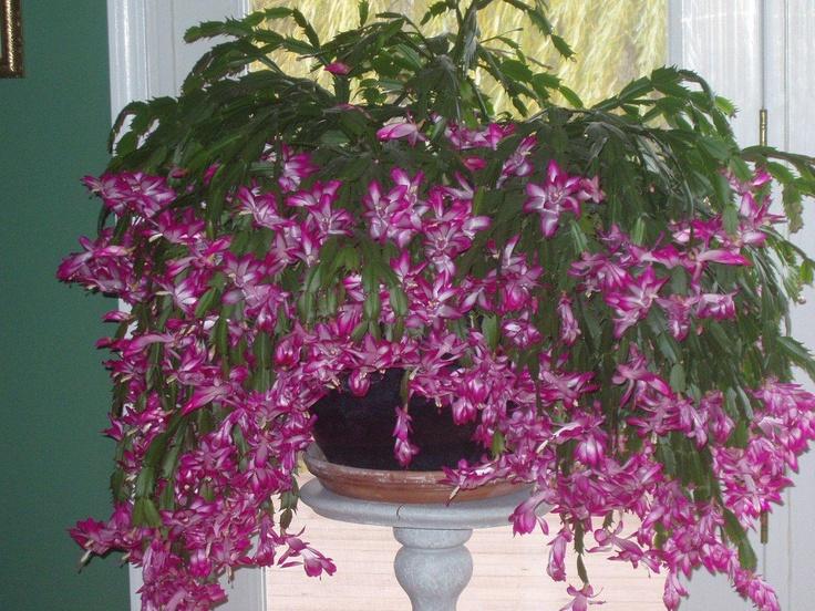 307 Best Ziemassv Tku Lieldienu Kaktuss Images On Pinterest