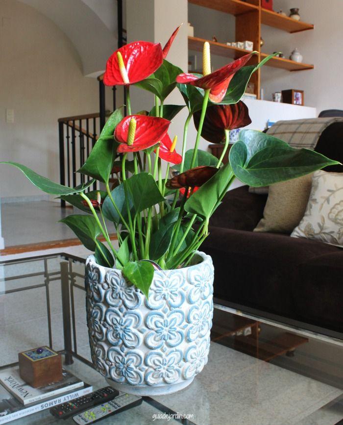 Anthurium Scherzerianum. Anturio. Capotillo. Calas.  Planta perenne, herbacea o leñosa. Planta de sombra o media sombra.  Altura: 70cm