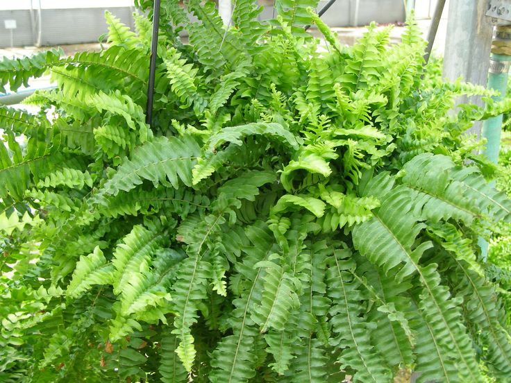 8 indoor plants that purify the air Ferns- Ferns have a reputation for being a bit mundane but most people don't realize that they're actually fascinating plants that have survived since Prehistoric times! They're favored for their soft, feathery leaves, and it's those same large fronds that help rid the air of pollutants like toluene and xylene, which are found in many paints, nail polishes, and glues . see more naturebring.com