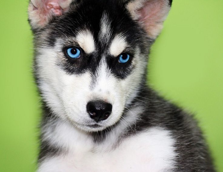 husky puppies with blue eyes | Awesome Pet | Pinterest ...