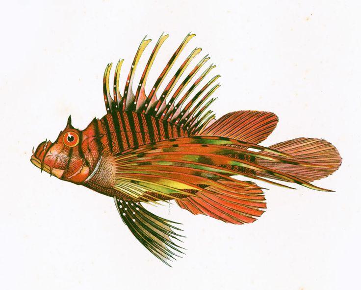 1932 Pterois Ruselli. Rascasse. Gravure Originale. Poisson Tropical. Ichtyologie Asie Pacifique Ocean Indien. de la boutique sofrenchvintage sur Etsy