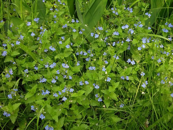 Teveronika, Veronica chamaedrys - Blomväxter - NatureGate