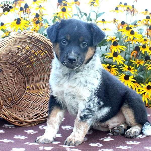 ... If you are looking for a family raised Blue Heeler puppy, look no  further!