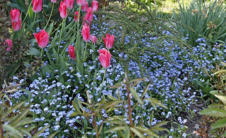 Das Wald-Vergissmeinnicht (Myosotis sylvatica) liebt sonnige bis halbschattige Plätze mit frischem Boden. Dort vermehrt es sich durch Selbstaussaat und verwandelt auf diese Weise ein Stückchen Garten in ein himmelblaues Blütenmeer