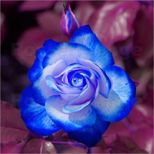 """Bild von kattobello - """"Blau weiße Rose"""""""