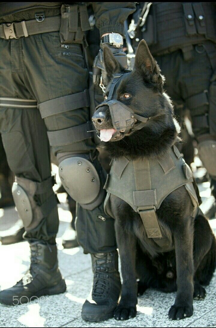 Black German Shepherd Military Working K9 - Hero & may God Bless you!