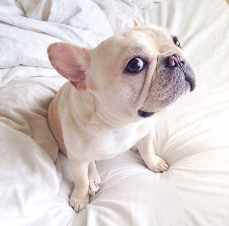 Milo, the French Bulldog, aka @Frenchiebutt, on instagram.