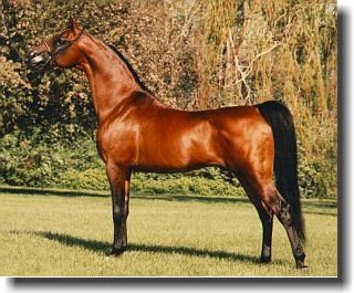 GG JABASK+/ #100335 (*Bask++ x Jalana, by *Serafix) 1973-1995 bay stallion bred by Carl Newton; sired 965 registered purebreds 1985 US National Top Ten Stallion US National Reserve Champion Stallion
